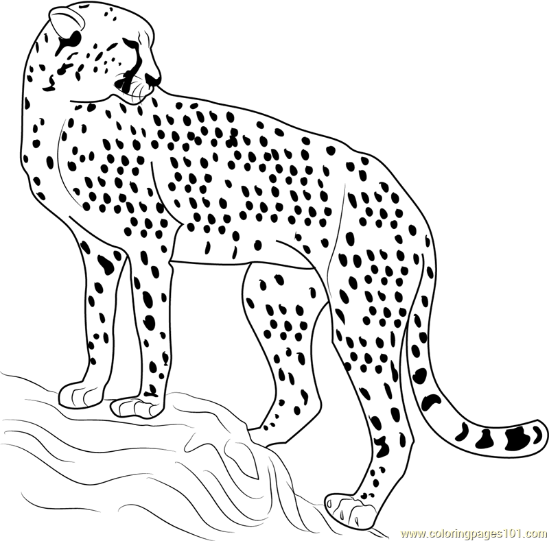 coloring pictures of cheetahs coloring pages of cheetahs coloring home pictures coloring cheetahs of