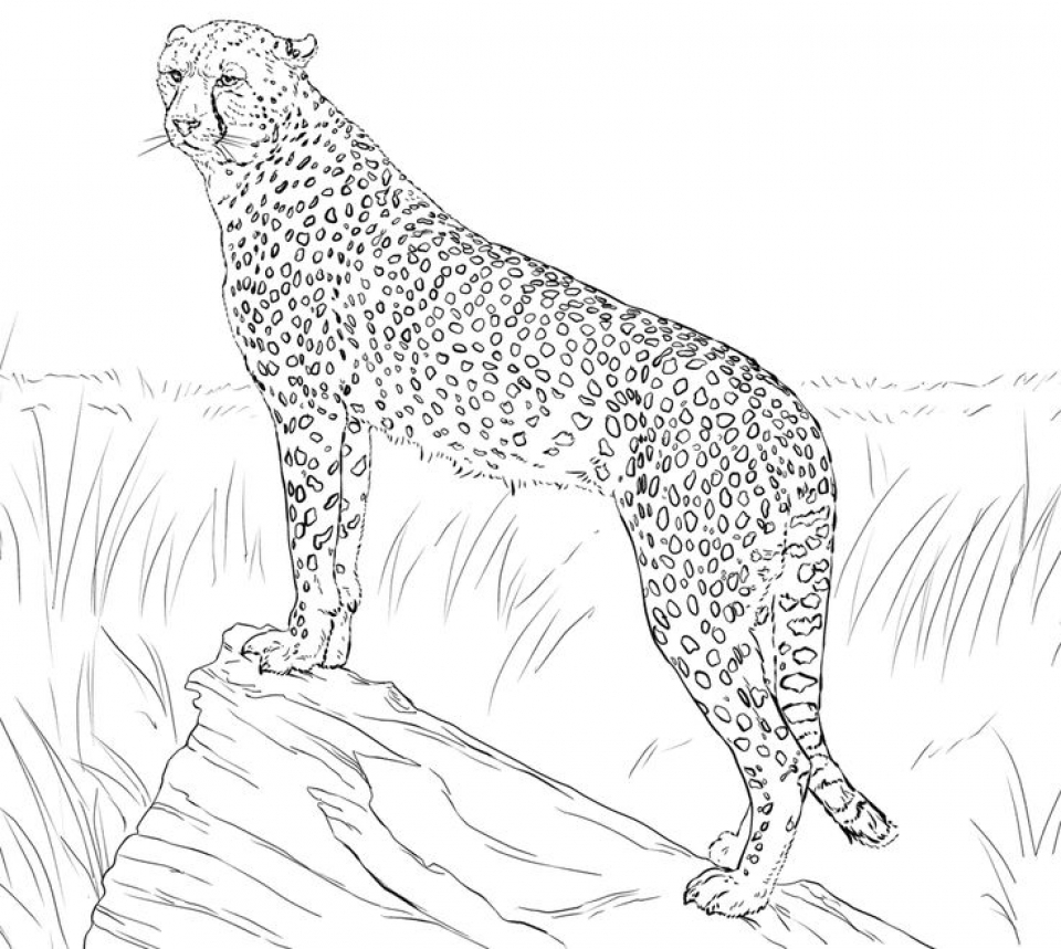 coloring pictures of cheetahs printable cheetah coloring pages for kids cheetahs of coloring pictures