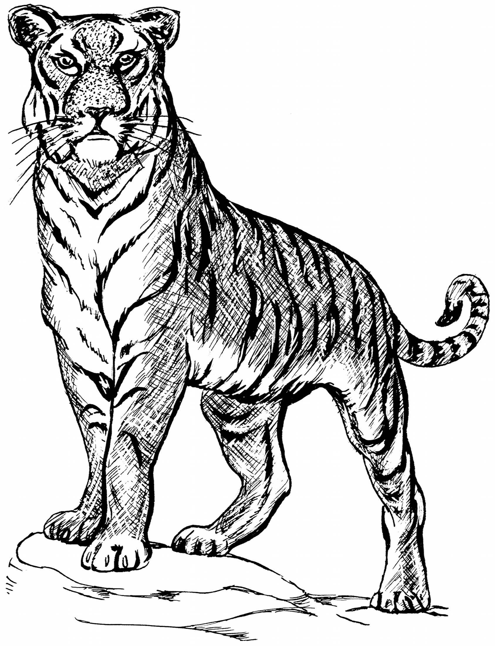 coloring pictures of tigers free printable tiger coloring pages for kids pictures tigers coloring of