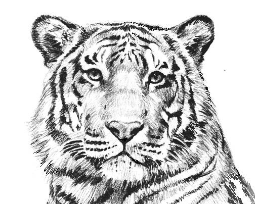coloring pictures of tigers tiger face outline drawing at getdrawings free download of coloring pictures tigers