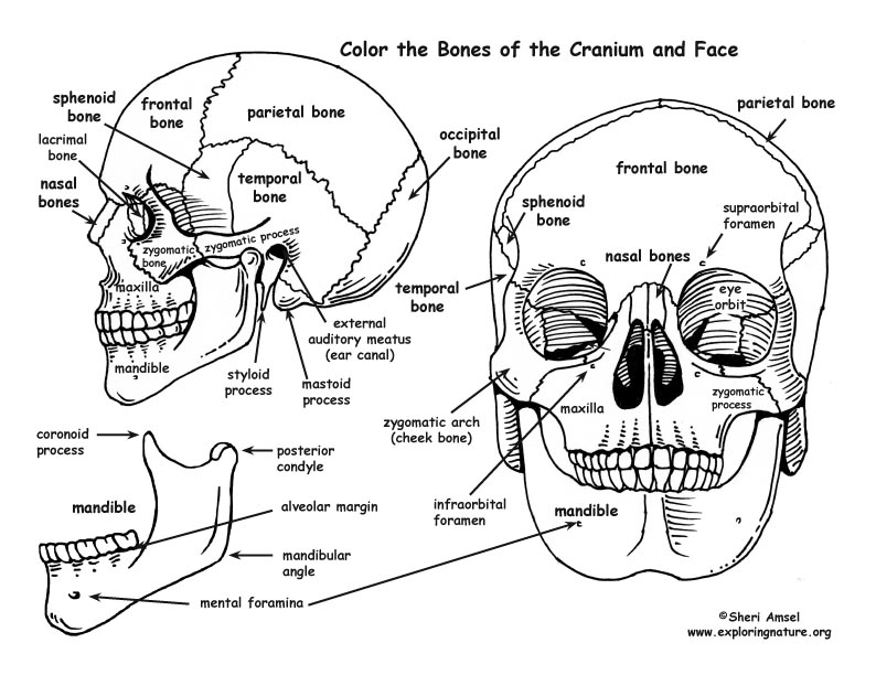 coloring skull bones skull 2 colouring pages page 2 coloring home coloring bones skull