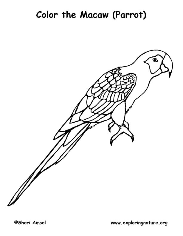 colouring picture of parrot colouring picture of parrot picture colouring parrot of