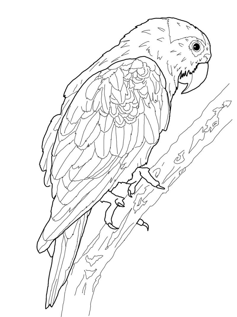 colouring picture of parrot printable parrot coloring pages for kids cool2bkids of picture parrot colouring