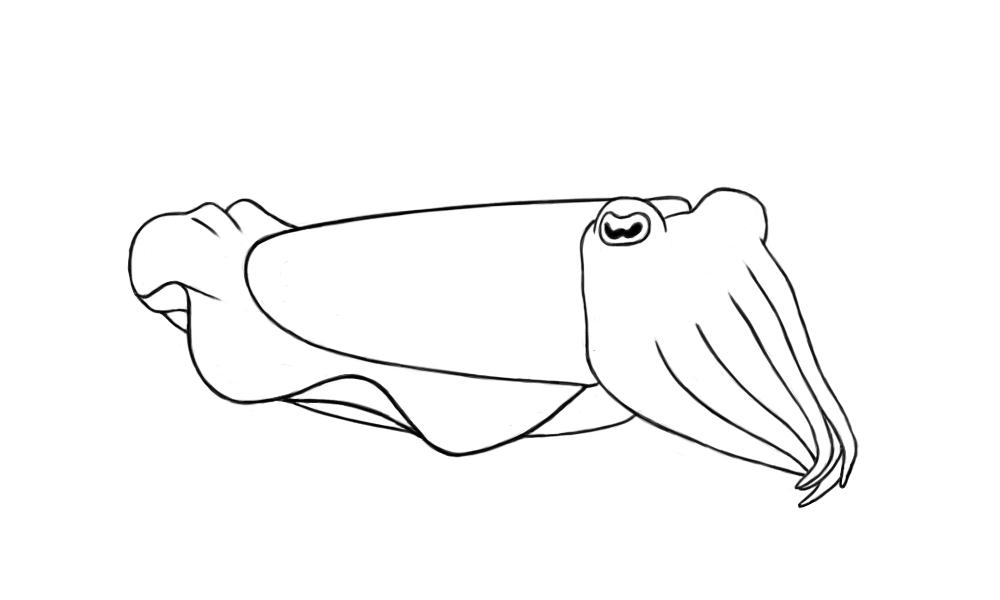 cuttlefish coloring pages cuttle fish coloring page google search fish coloring coloring cuttlefish pages