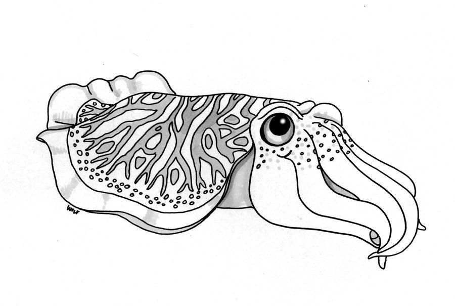 cuttlefish coloring pages cuttlefish outline cuttlefish mollusca coloring online cuttlefish pages coloring