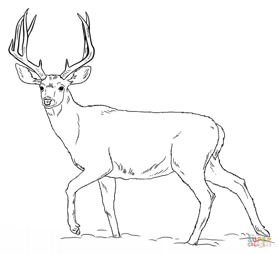 deer color pages coloring book page for adults beautiful deer to by color deer pages
