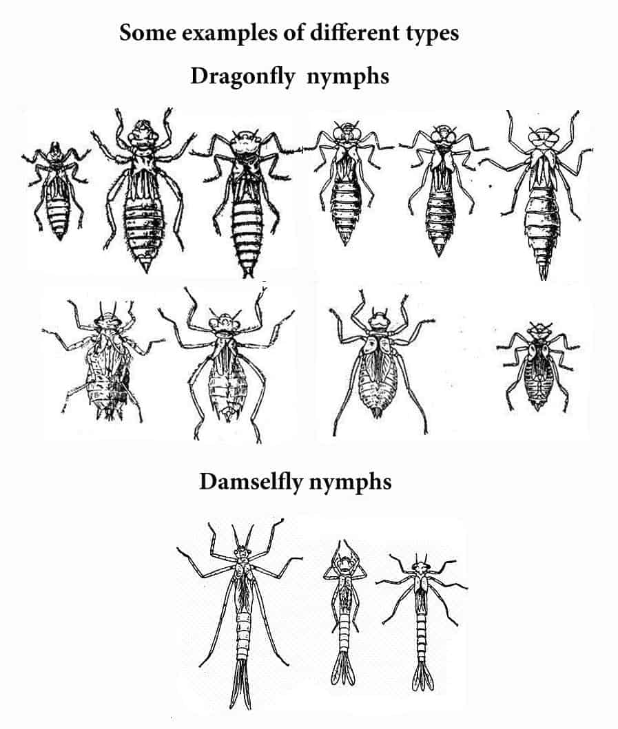 dragonfly larvae 8 terrifying creatures that destroy pests ready nutrition dragonfly larvae