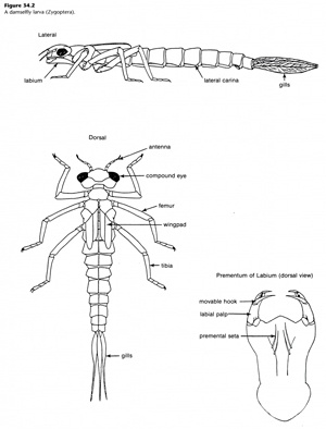 dragonfly larvae dragonfly and damselfly nymphs monsters in shrimp tanks larvae dragonfly