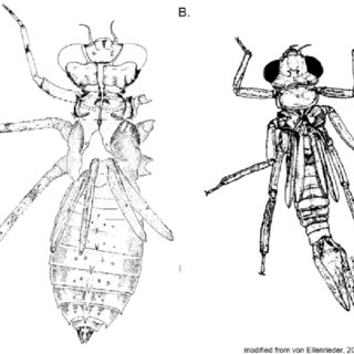 dragonfly larvae dragonfly larva is it a good bug or bad one page 2 dragonfly larvae