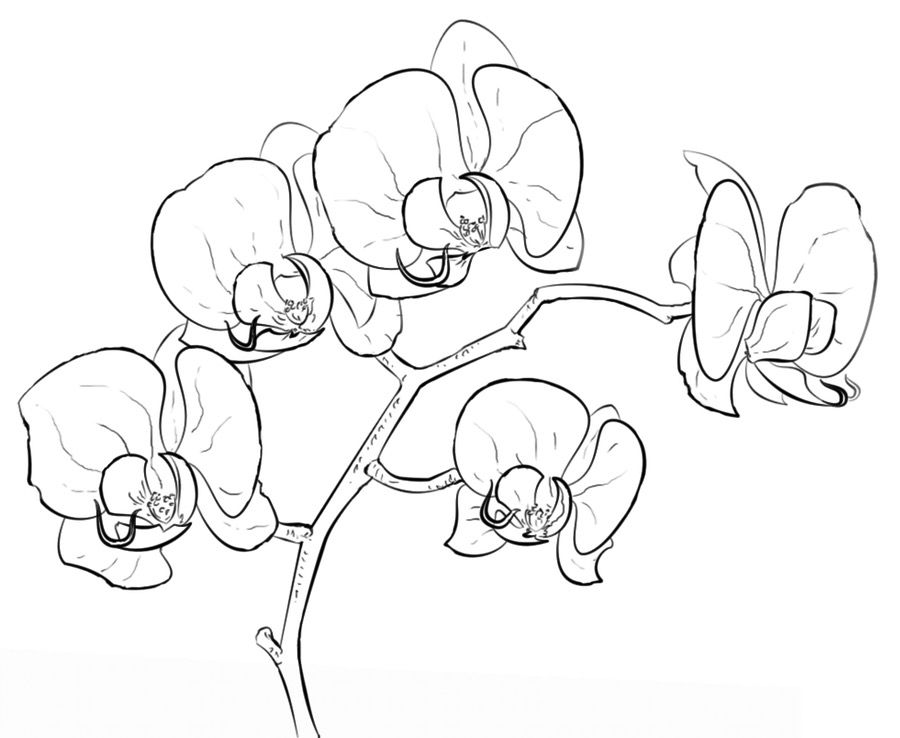 draw an orchid black and white orchid clipart 10 free cliparts download draw an orchid