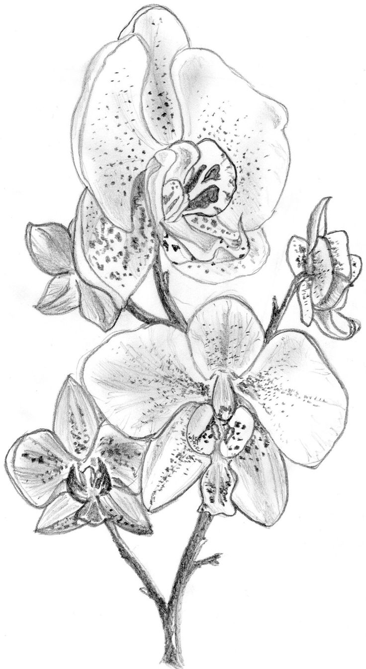 draw an orchid gousicteco orchid drawing easy images draw orchid an