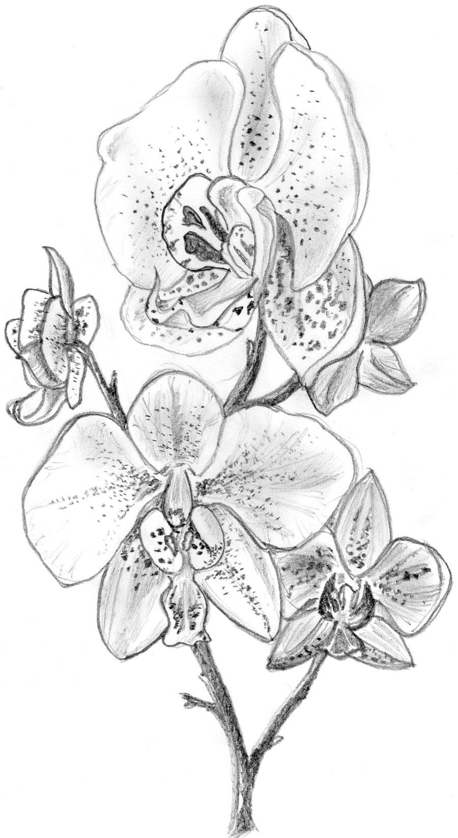 Draw an orchid