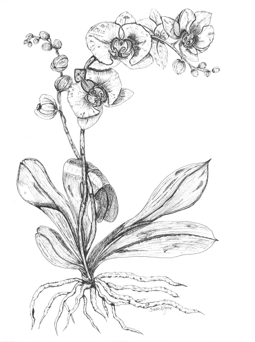draw an orchid orchid drawing at getdrawings free download draw orchid an