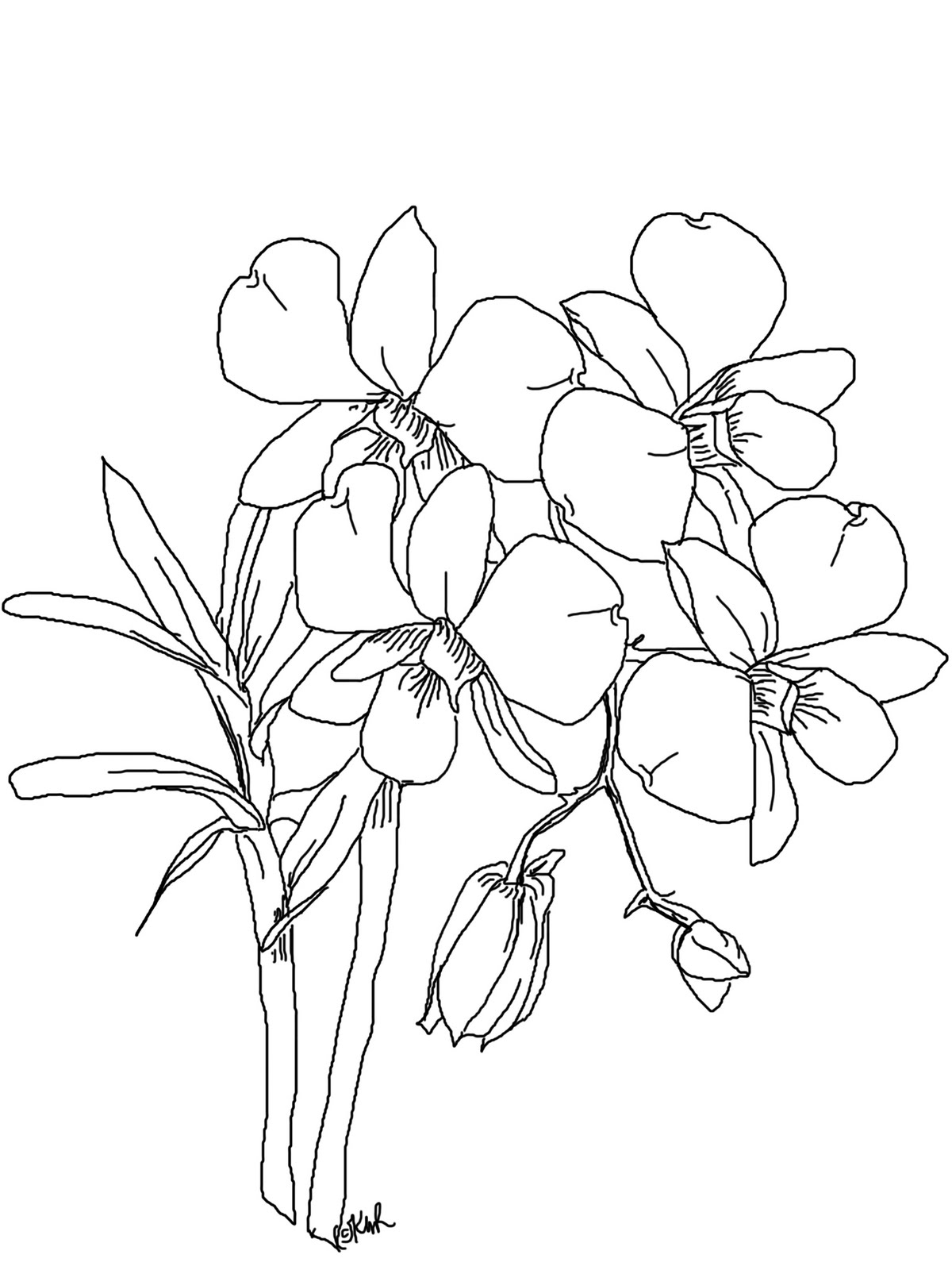 draw an orchid orchid drawing outline at getdrawings free download orchid draw an