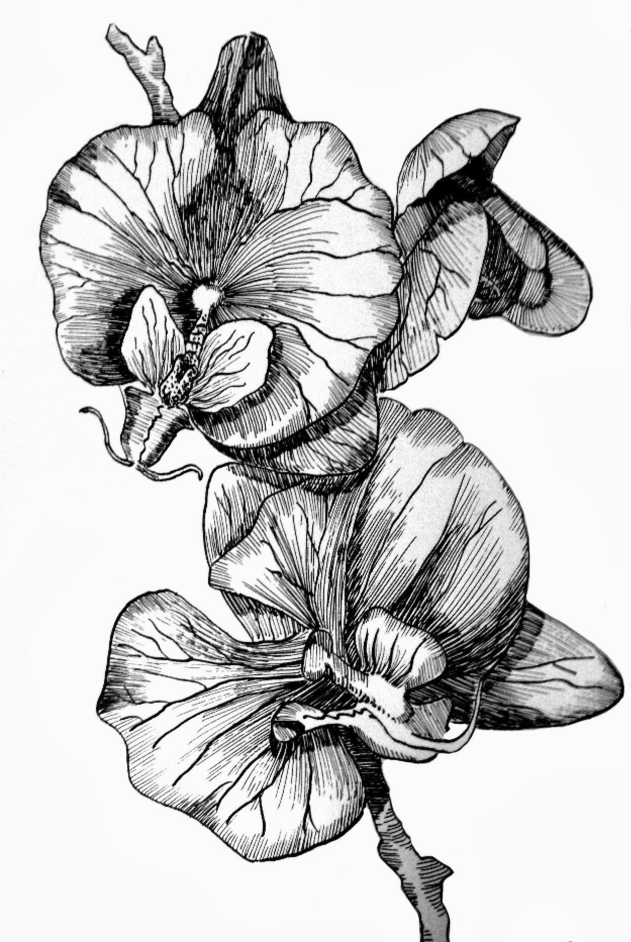 draw an orchid orchid drawing outline at paintingvalleycom explore draw an orchid