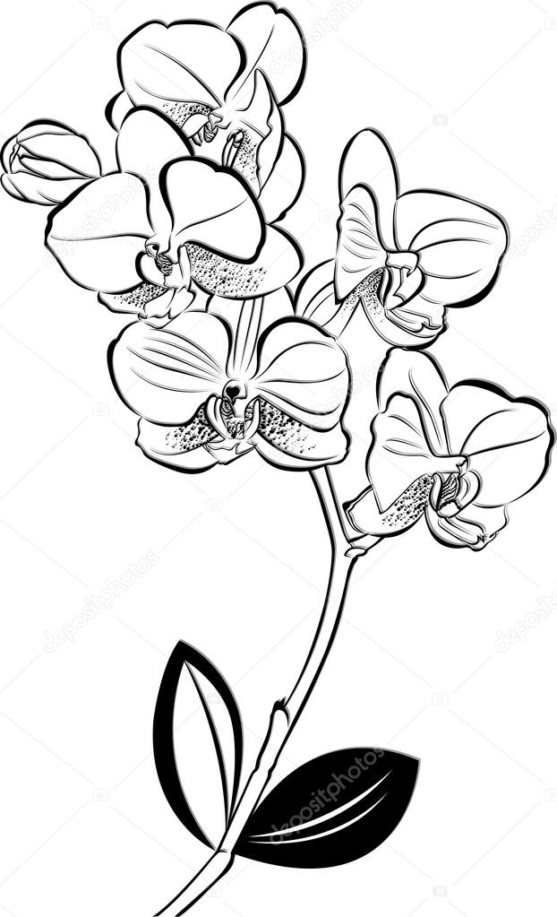 draw an orchid orchid flower drawing in pencil at paintingvalleycom an draw orchid