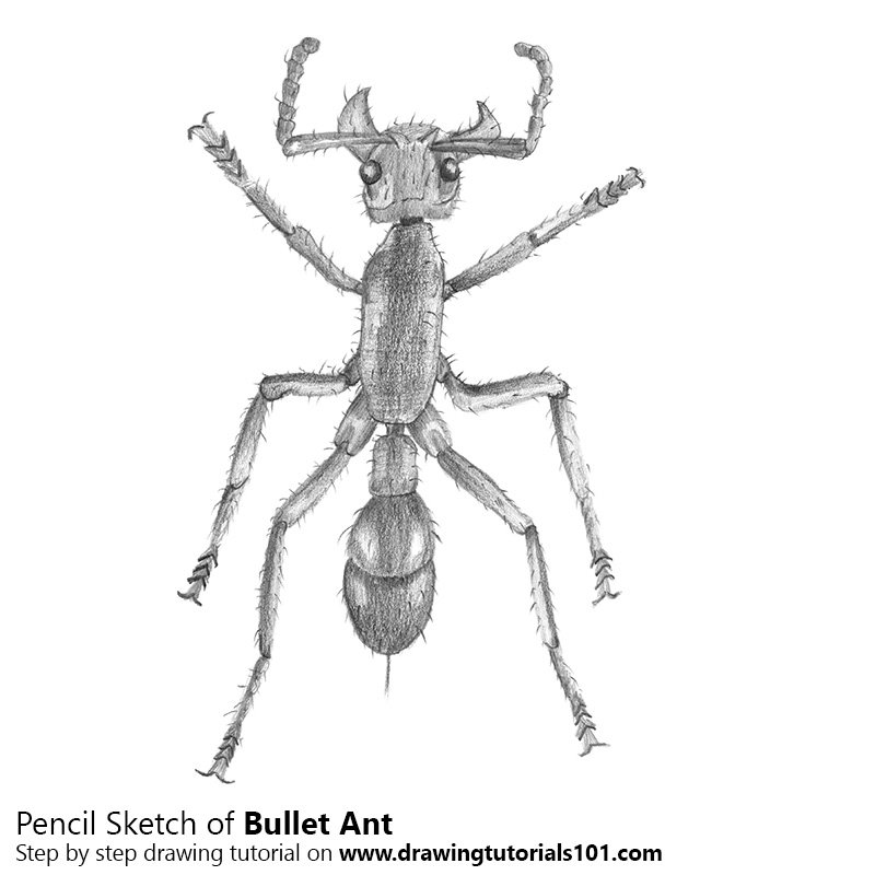 drawing of an ant 17 best images about insect drawing on pinterest gel an ant of drawing
