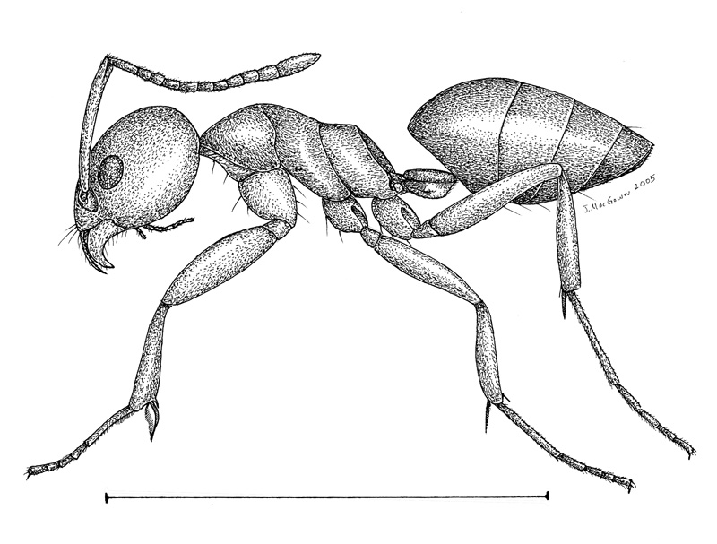 drawing of an ant how to draw an ant youtube an ant of drawing
