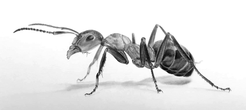 drawing of an ant insects pencil drawings gallery fun facts ant of an drawing