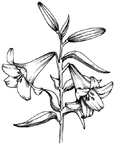 drawings of plants 7 best images of printable black and white flowers free plants drawings of