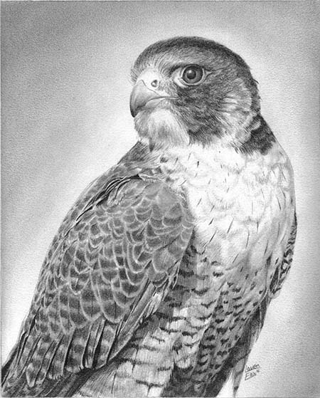 falcon drawings falcon drawing by david burkart falcon drawings