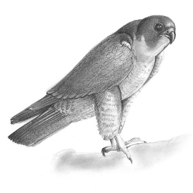 falcon drawings falcon drawing by henry snell drawings falcon