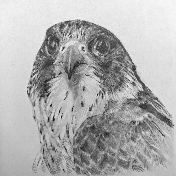falcon drawings falcon drawing by ronny hart drawings falcon