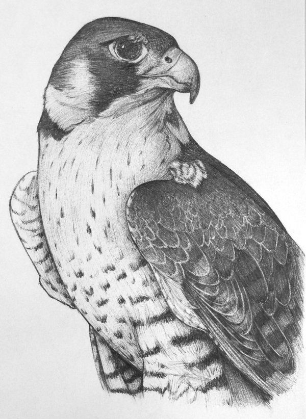 falcon drawings falcon drawing pencil sketch colorful realistic art drawings falcon