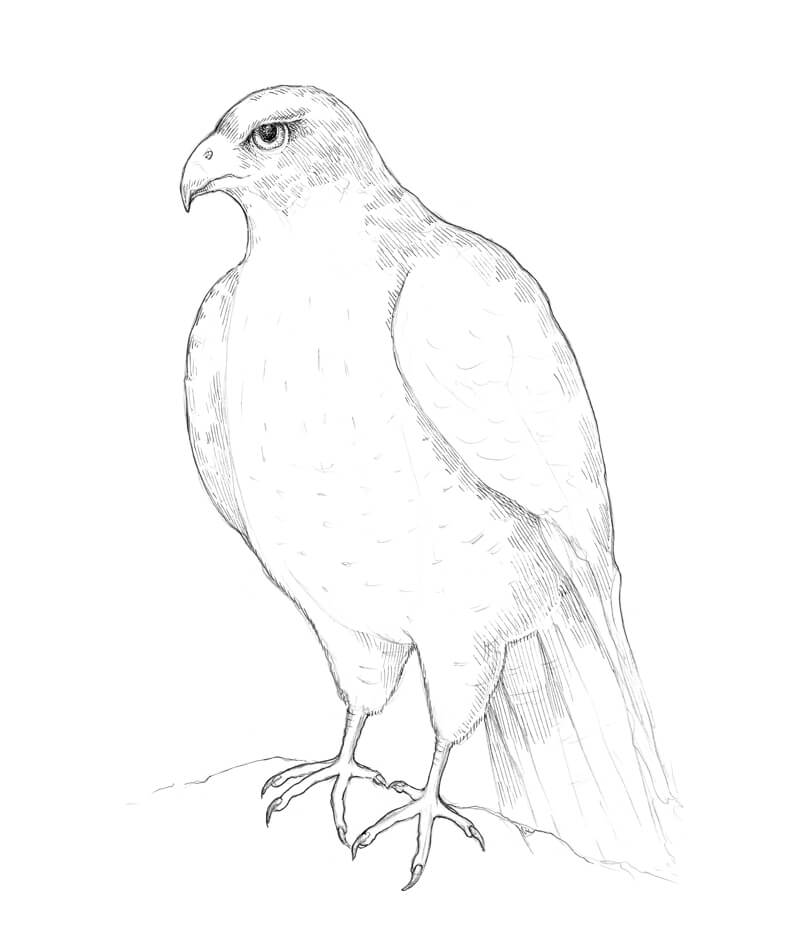 falcon drawings falcon sketch drawing by tina mathew falcon drawings