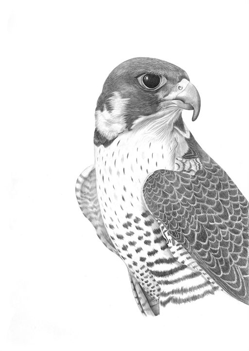 falcon drawings how to draw a falcon with pen and ink drawings falcon