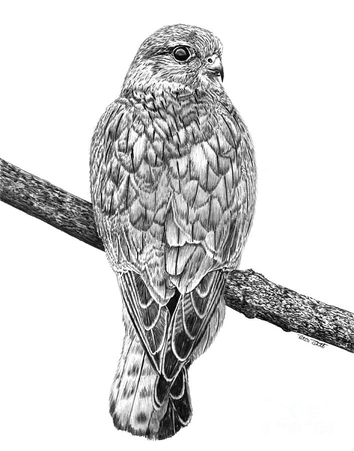 falcon drawings lanner falcon drawing by loren dowding drawings falcon