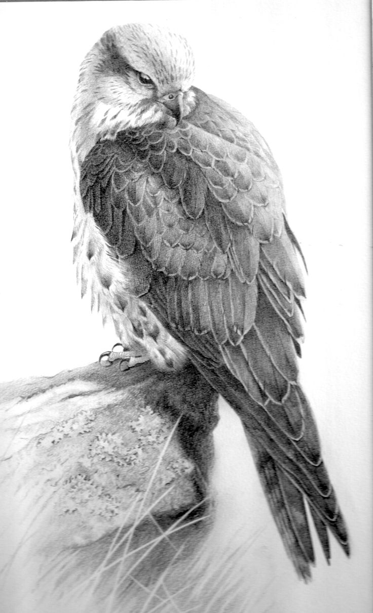 falcon drawings merlin falcon drawing by peter piatt drawings falcon