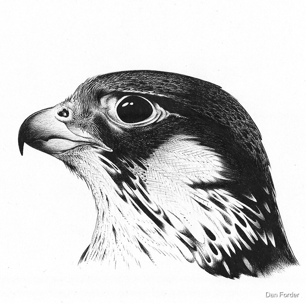 falcon drawings peregrine falcon drawing by chris mosley drawings falcon