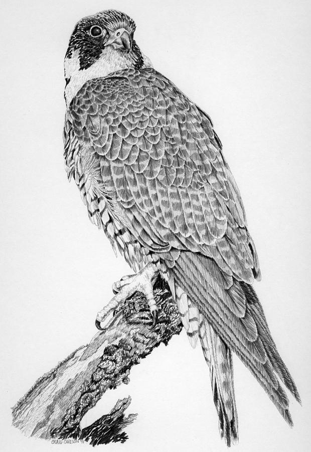 Falcon drawings