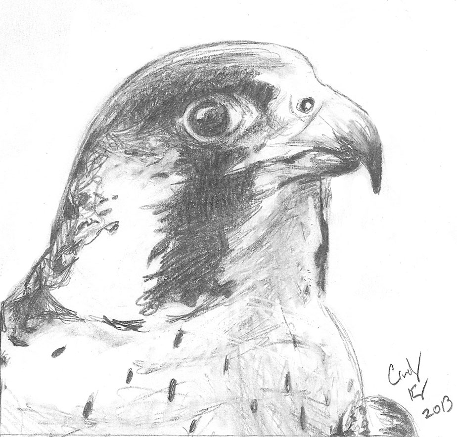falcon drawings peregrine falcon illustration by manon heine on dribbble falcon drawings