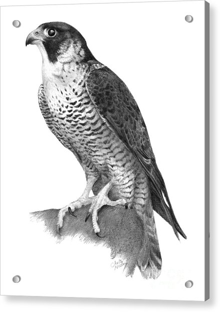 falcon drawings peregrine falcon pencil drawing how to sketch peregrine drawings falcon