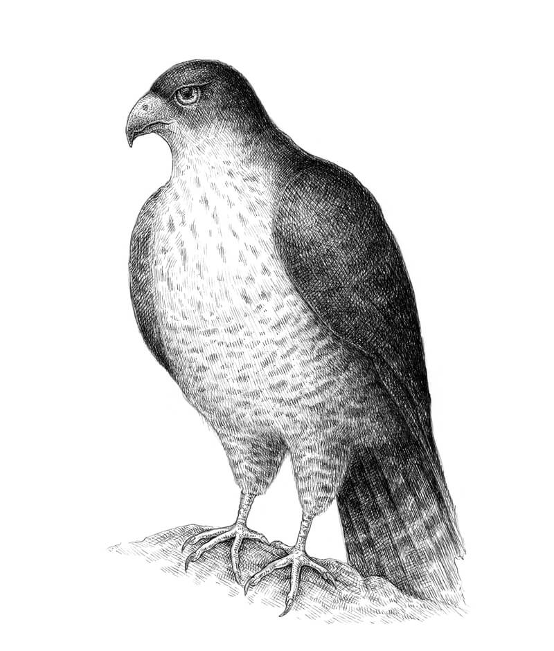 falcon drawings quotfalconquot 22quotx30quot tiere zeichnen bemalte vögel zeichnen drawings falcon