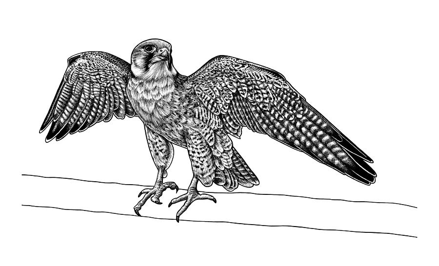 falcon drawings wildlife at borrowdale and derwent water national trust falcon drawings
