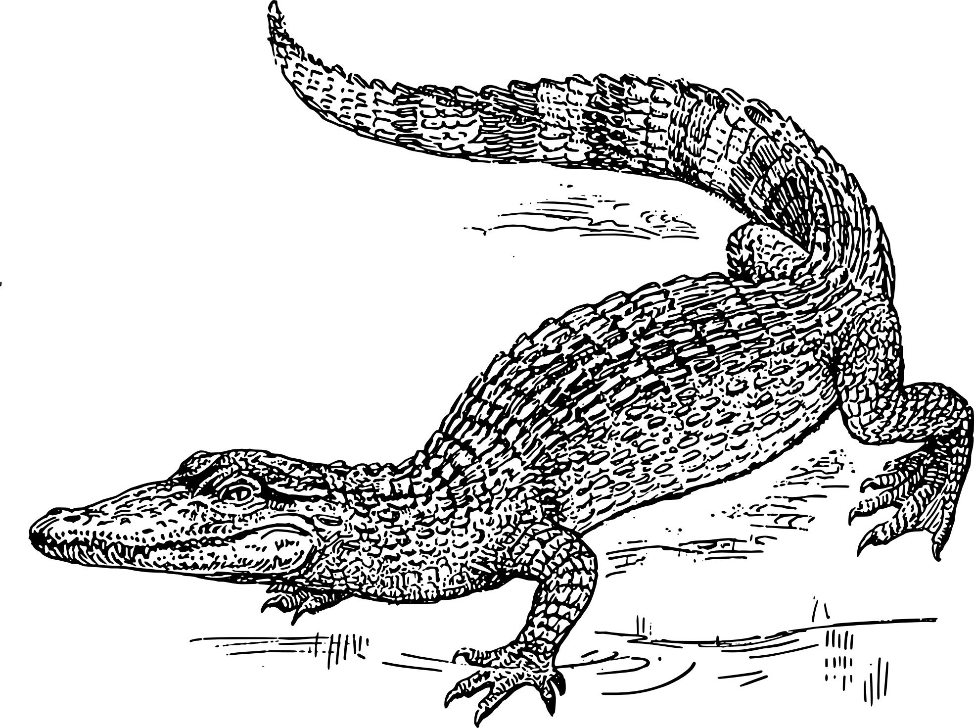 free printable pictures of alligators alligator coloring pages free teacher worksheets of free printable pictures alligators