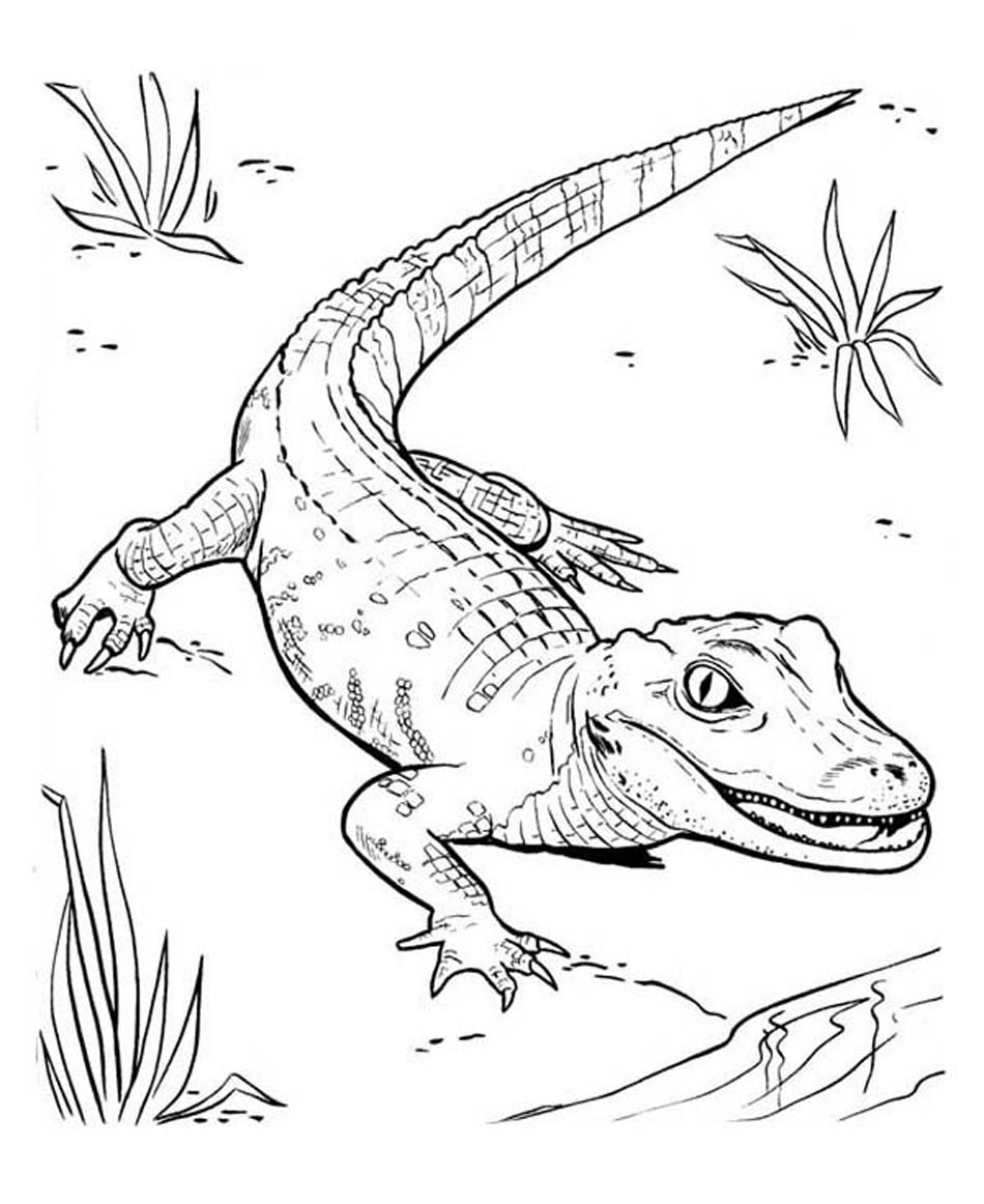 free printable pictures of alligators free alligator coloring pages download and print deer alligators pictures of free printable
