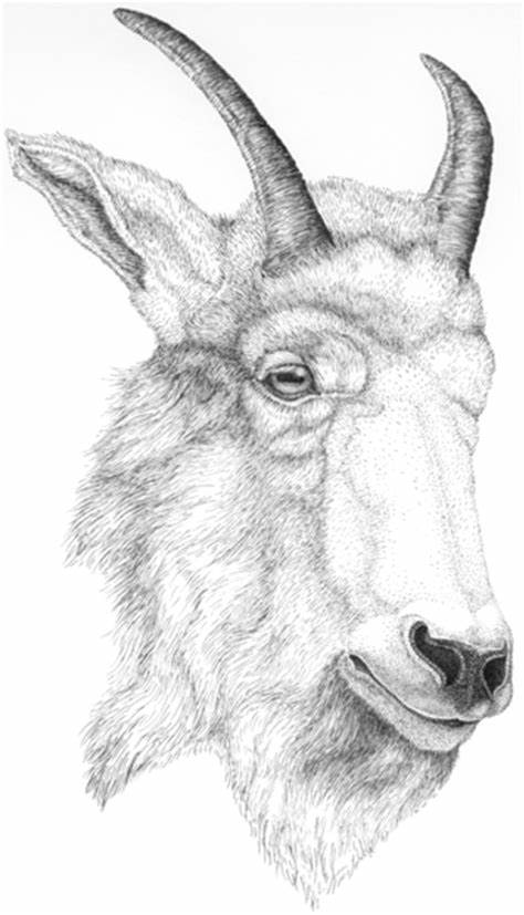goat head drawing goat head drawing at getdrawings free download goat head drawing
