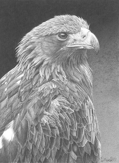 golden eagle drawing challenge winner clive meredith redbubble golden eagle drawing