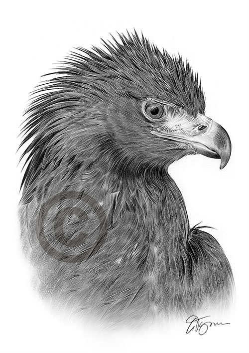 golden eagle drawing pet portraits pencil drawings and signed artwork prints drawing eagle golden