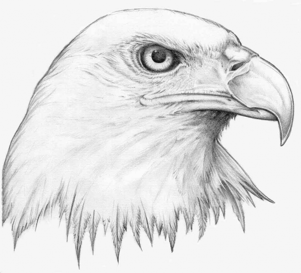 golden eagle drawing realistic eagle drawing at getdrawings free download eagle drawing golden
