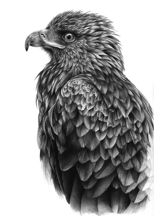 golden eagle drawing the mountain king phil mumby bird drawings bird drawing golden eagle