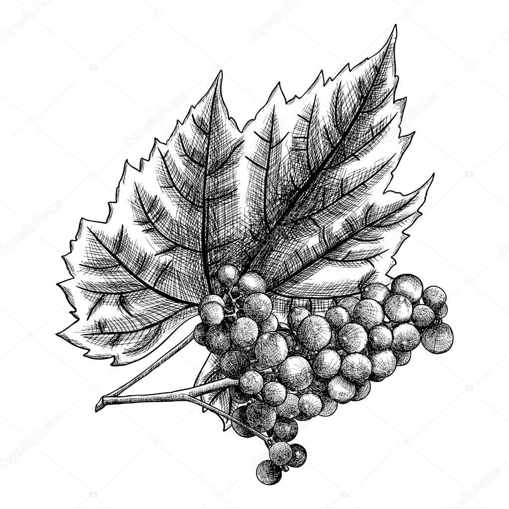 grapes drawing cluster of grapes free vintage clip art image old drawing grapes