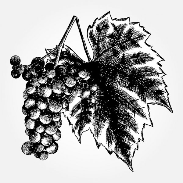grapes drawing common grape vine drawing grape transparent background grapes drawing