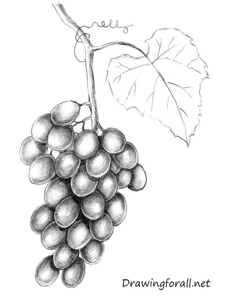 grapes drawing hand drawing of fresh pione grapes on white background drawing grapes