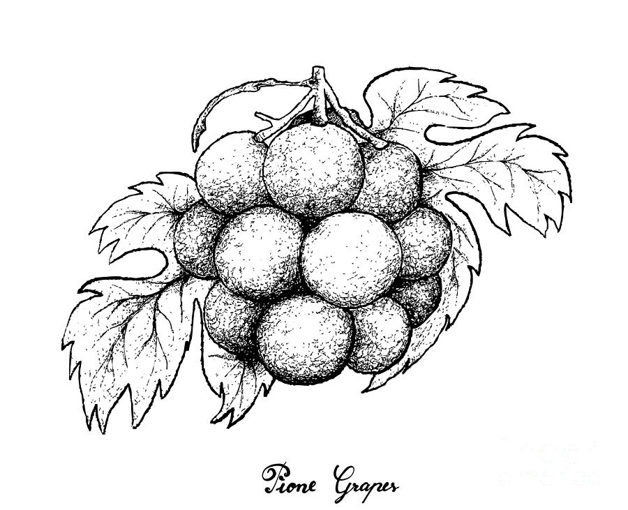 grapes drawing sketch grapes at paintingvalleycom explore collection drawing grapes