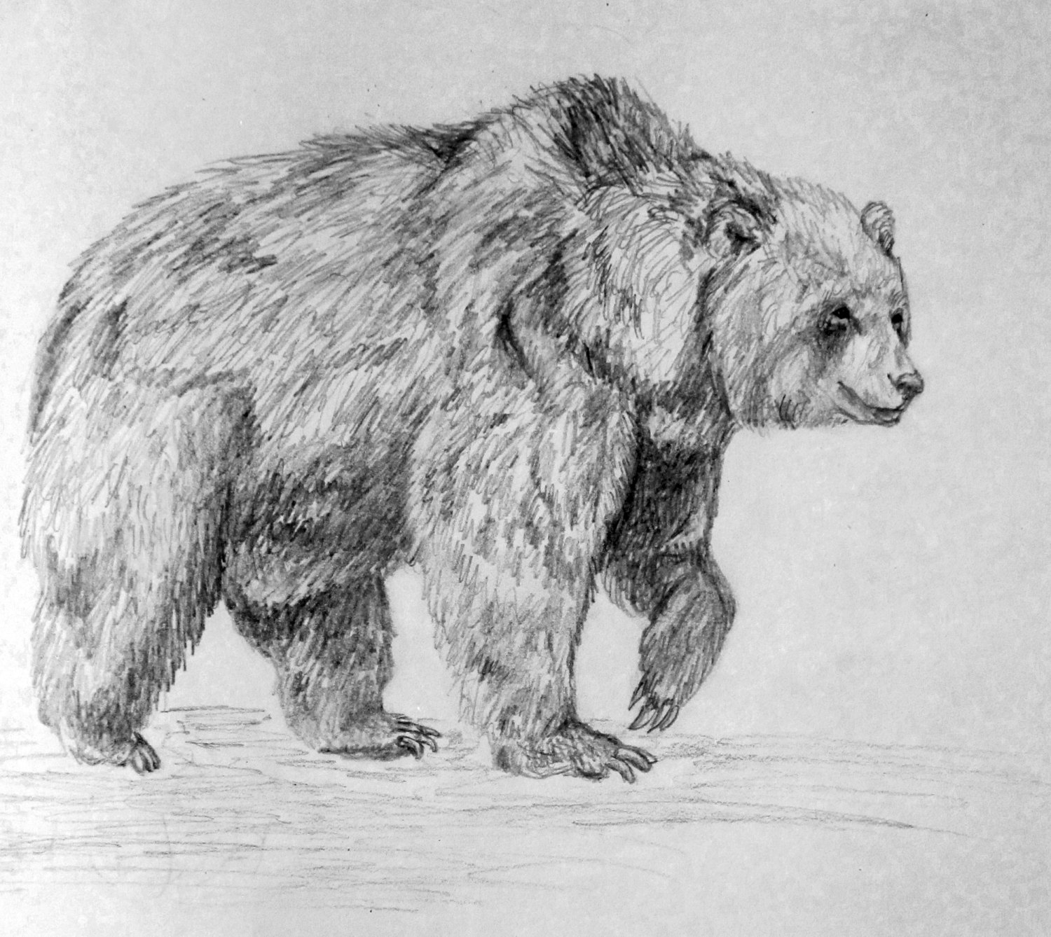 grizzly bear drawings 10 bear drawings showcase hative bear grizzly drawings